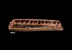 Lower jaw fragment from Elginerpeton originally identified as a fossil fish bone (C) NMS